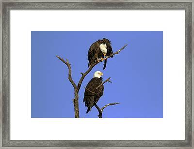 Eagle Roost Framed Print by David Yunker