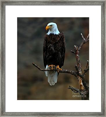 Eagle Scout Framed Print by Adam Jewell