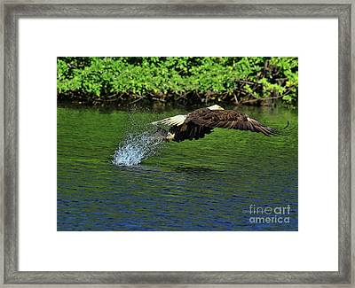 Framed Print featuring the photograph Eagle Series Fish Catch by Deborah Benoit