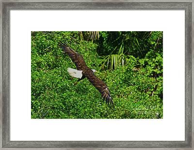Framed Print featuring the photograph Eagle Series Flight by Deborah Benoit