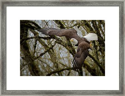 Eagle Take Off Framed Print