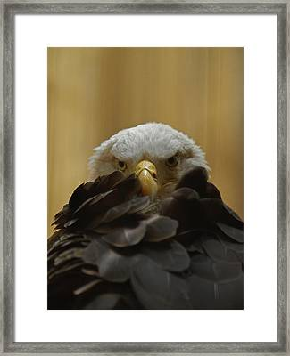Eagle Thinking Framed Print by Peter Gray