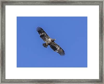 Eagle Undergrad Framed Print by Loree Johnson