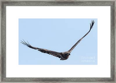 Eagle Watch 2017 Framed Print by Ricky L Jones