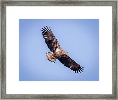 Framed Print featuring the photograph Eagle Watch 2018 - Third Year Bald Eagle  by Ricky L Jones