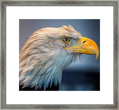 Eagle With An Attitude Framed Print by Bill Tiepelman