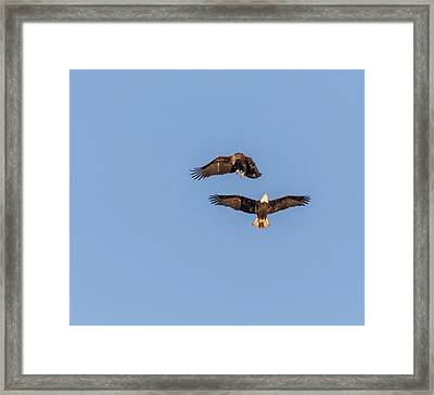 Eagles Dancing In Air Framed Print by Thomas Young