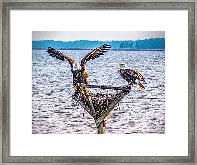 Framed Print featuring the photograph Eagles In Blackwater Refuge by Nick Zelinsky