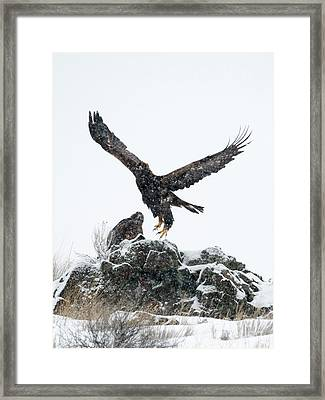 Eagles In The Storm Framed Print by Mike Dawson