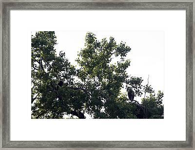 Eagles On West Lake Framed Print