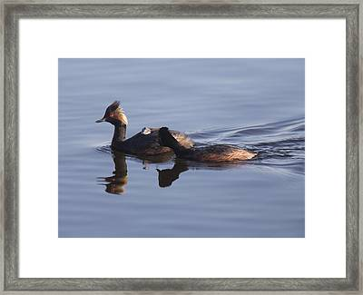 Eared Grebe With Babies Framed Print by Mark Duffy