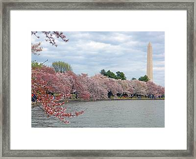 Early Arrival Of The Japanese Cherry Blossoms 2016 Framed Print