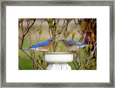 Early Bird Breakfast For Two Framed Print by Bill Pevlor