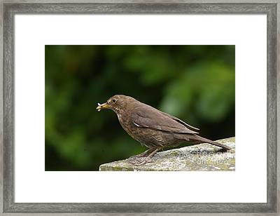 Early Bird Framed Print by Catja Pafort