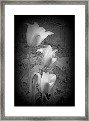 Early Blooming Tulips In Black And White Framed Print