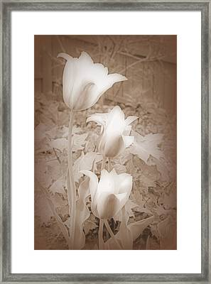 Early Blooming Tulips In Sepia Framed Print