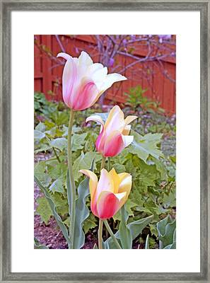 Early Blooming Tulips Framed Print