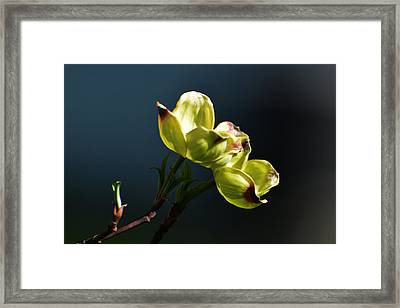 Early Dogwood Blossoms Framed Print