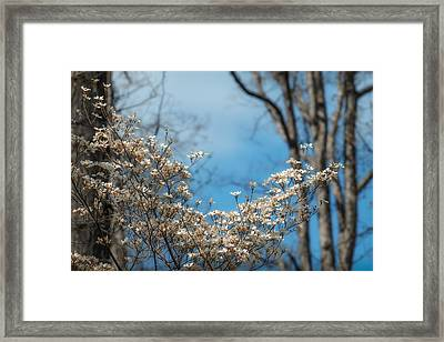 Early Dogwood Framed Print by James Barber