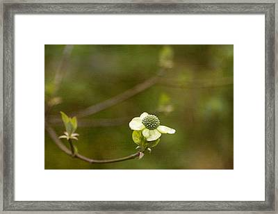 Early Dogwood Framed Print