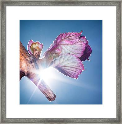 Early Morning Bud Break Framed Print by Len Romanick
