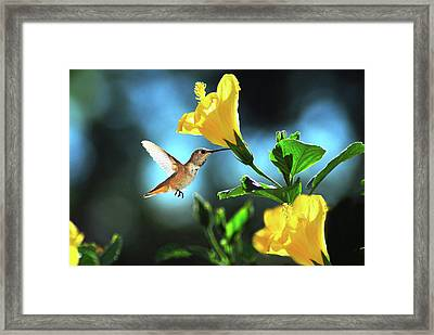 Early Morning Hummer Framed Print by Lynn Bauer