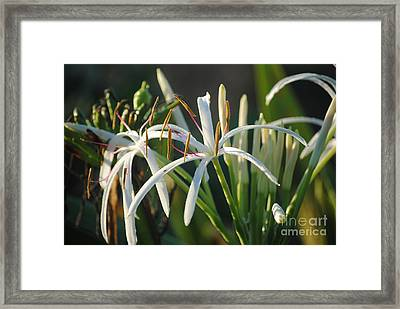 Early Morning Lily Framed Print