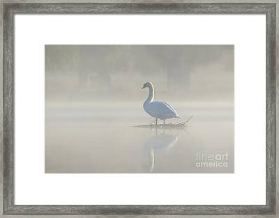 Framed Print featuring the photograph Early Morning Mute Swan - Cygnus Olor - On Serene, Misty Pond by Paul Farnfield