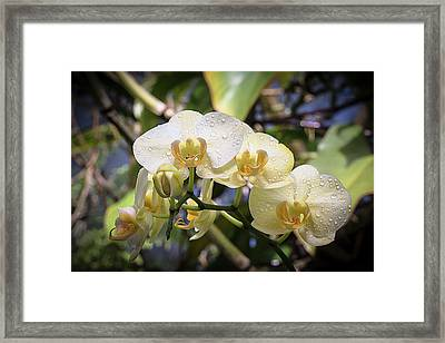 Early Morning Orchids Framed Print