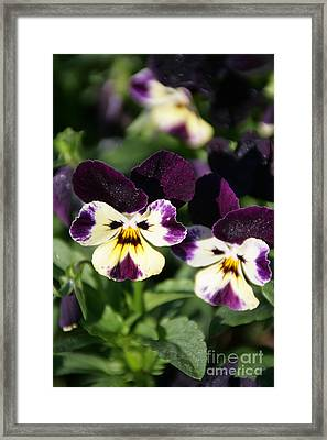 Early Morning Pansies Framed Print by Andrea Jean