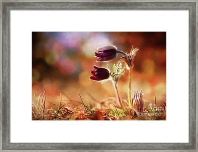 Early Morning Purple Pasque Framed Print
