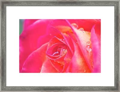 Early Morning Rose Framed Print by Ashley Balkan