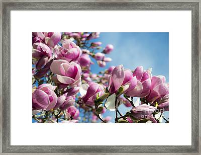 Early Spring Magnolia Framed Print