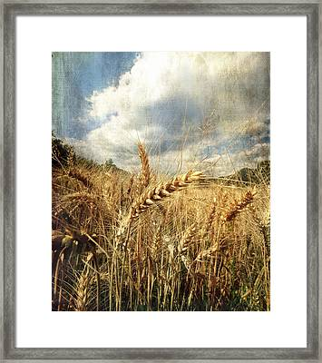 Ears Of Corn Framed Print by Vittorio Chiampan