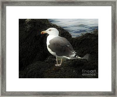 East Coast Herring Seagull Framed Print