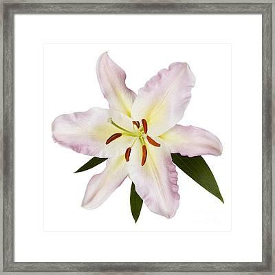 Easter Lilly 1 Framed Print by Tony Cordoza