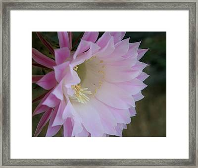 Easter Lily Cactus East Framed Print by Marna Edwards Flavell