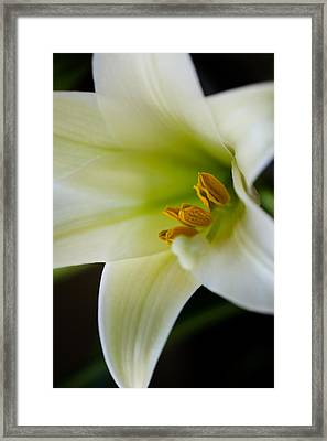 Easter Lily Color Framed Print by Edward Myers