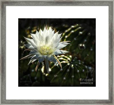 Easter Lily-echinopsis Framed Print