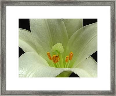 Easter Lily Floral Framed Print