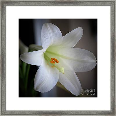 Easter Lily Square Framed Print by Diann Fisher