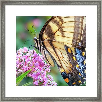 Easter Tiger Swallowtail Butterfly Framed Print