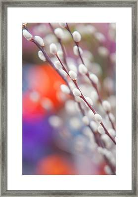 Easter Willow Branch Of White Furry Catkins Framed Print by Jenny Rainbow