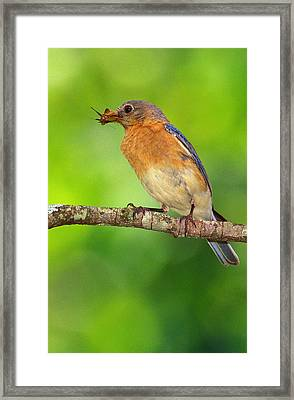 Easterm Bluebird With Skipper Butterfly In Beak Framed Print by Alan Lenk