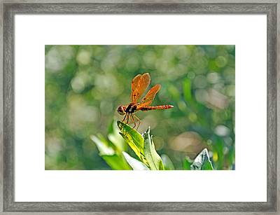 Eastern Amber Wing Dragonfly Framed Print by Kenneth Albin