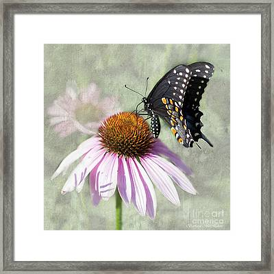 Eastern Black Swallowtail And Echinacea  Framed Print