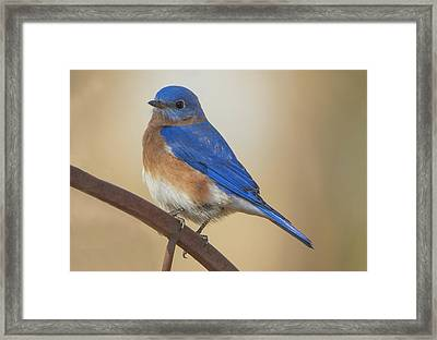 Eastern Blue Bird Male Framed Print