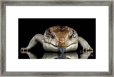 Eastern Blue-tongued Skink, Tiliqua Scincoides, Isolated On Black Background Framed Print by Sergey Taran