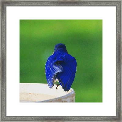 Eastern Bluebird. #birds #birding Framed Print by Heidi Hermes