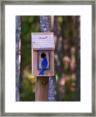 Eastern Bluebird Entering Home Framed Print by Douglas Barnett